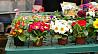 Muncitori necalificați la cultivarea florilor.
