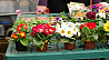 Cultivarea florilor. Germania.