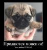 Продаются щенки королевского мопса!